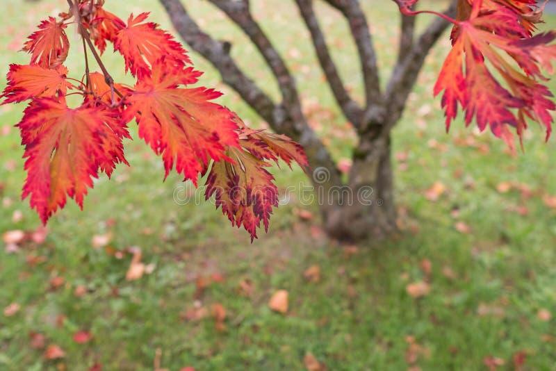 Rotes Laub eines japanischen Ahornbaums (Acer-palmatum) lizenzfreie stockfotos