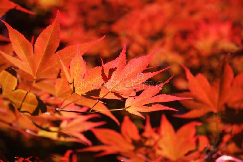 Rotes Laub von Acer Palmatum stockfotos