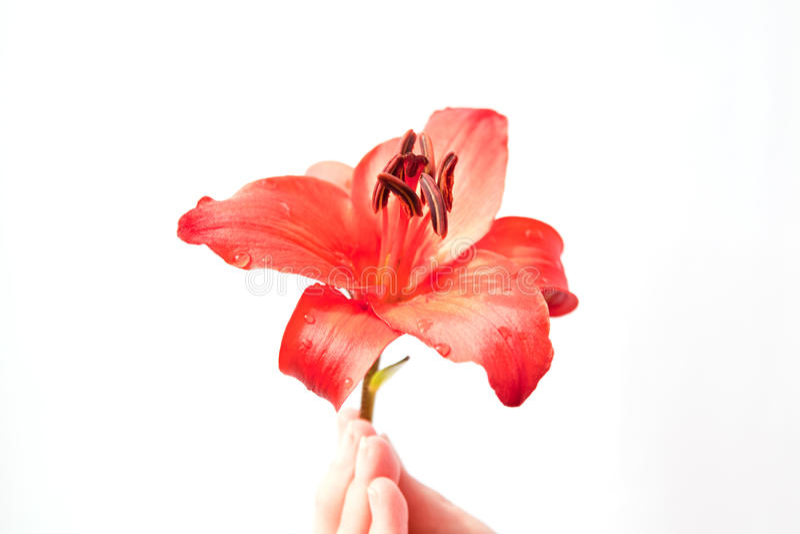 Rotes Lilienfoto lizenzfreie stockbilder