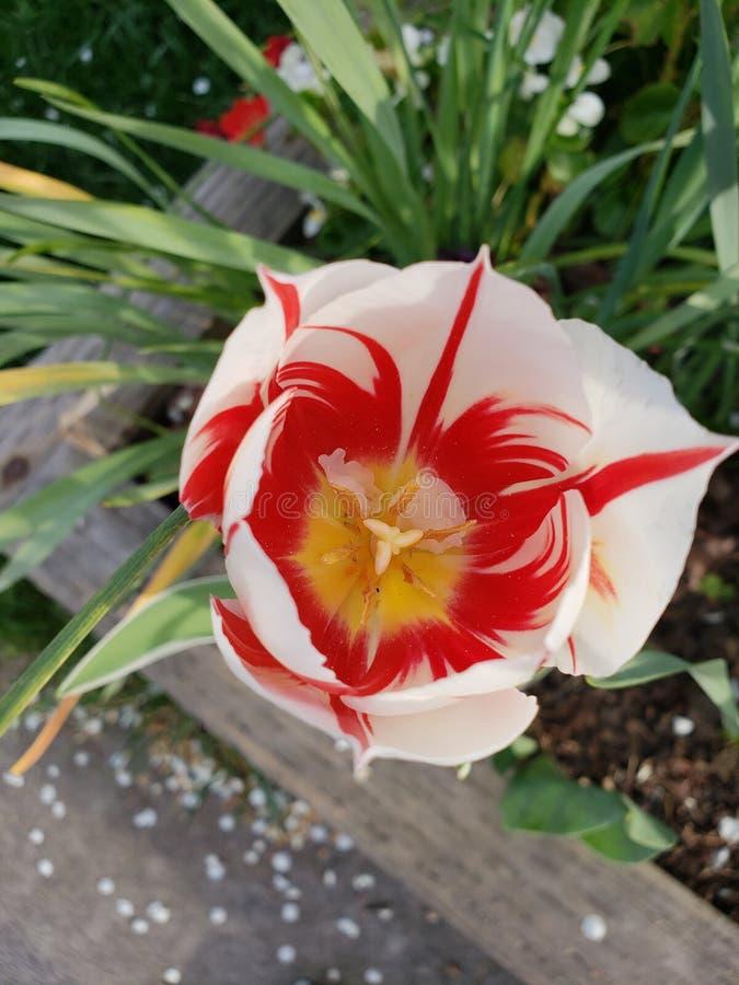 Rotes Lotus stockfotos