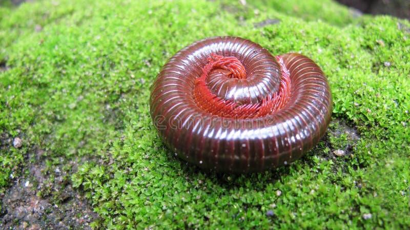 Rotes Milipede-Rollen aus den Grund lizenzfreie stockbilder