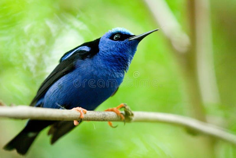 vogel mit blauen federn stockfoto bild von zweig klar. Black Bedroom Furniture Sets. Home Design Ideas