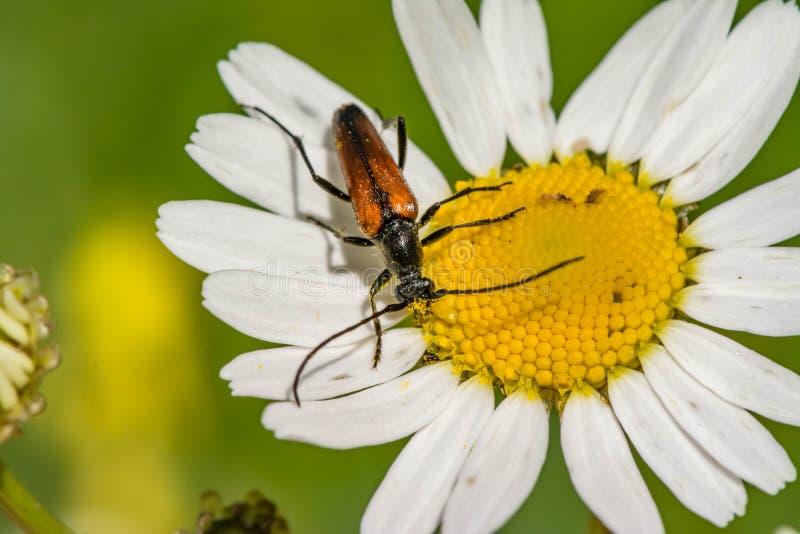 Rotes mustachioed Insekt sitzt auf einer Blume des weißen Gänseblümchens stockfotografie