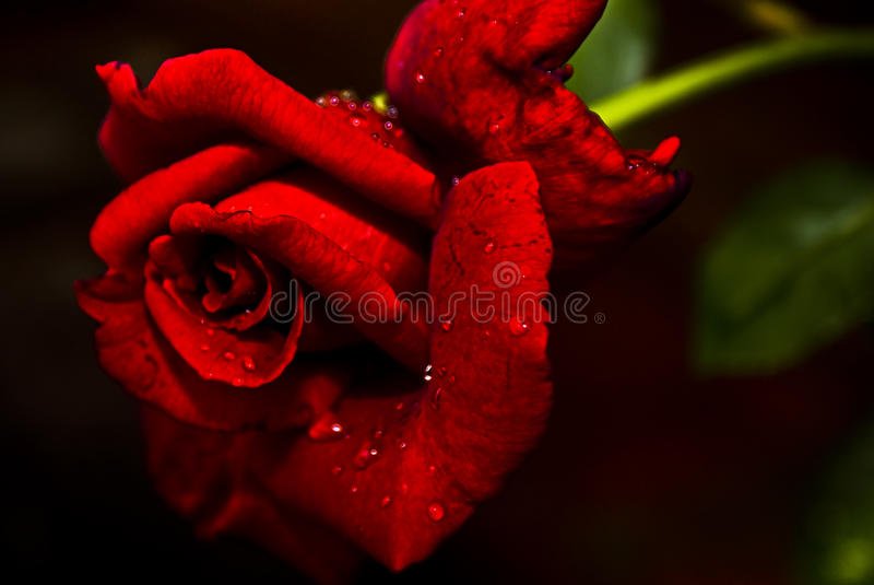 Rotes 'N wohlriechende Rose - hybrider Tee stockfoto