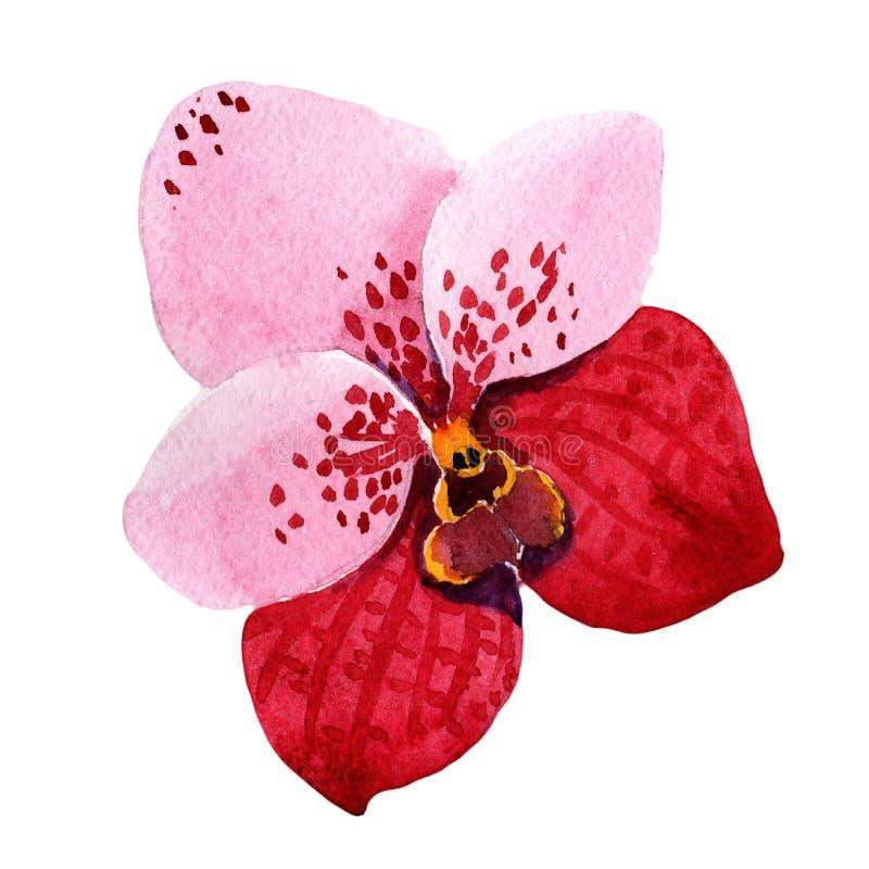 Rotes Orchidee wanda Botanische mit Blumenblume Wilder Federblatt Wildflower lokalisiert stock abbildung