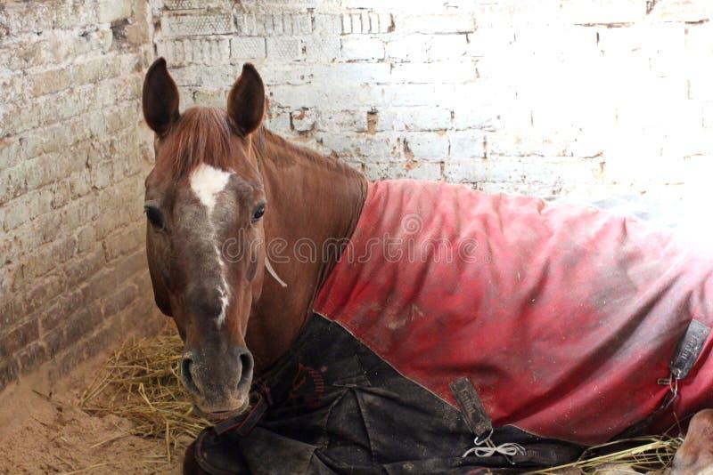 Rotes Pferd bedeckt mit einer Decke, die in einem Stall auf dem kranken müden des Bauernhofes liegt stockbild