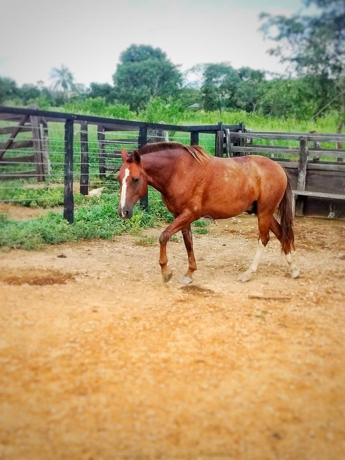 Rotes Pferd, das innerhalb der Einschließung marschiert stockfotos