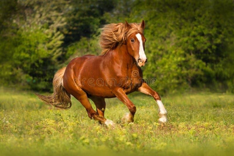 Rotes Pferd mit langem Hauptleitungslauf lizenzfreie stockfotos