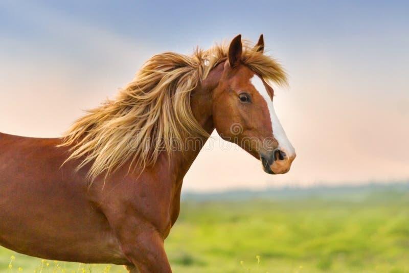 Rotes Pferd mit langer Hauptleitung stockbilder