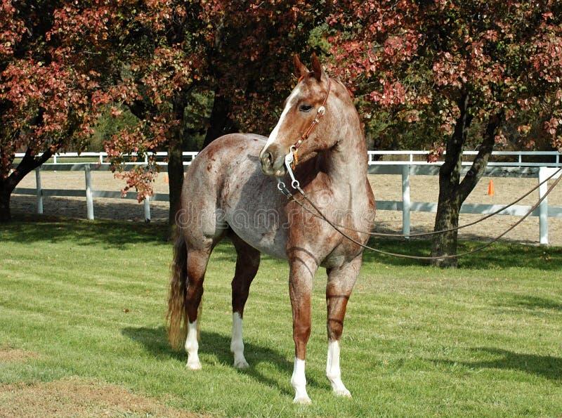 Rotes roan Pferd lizenzfreie stockfotos