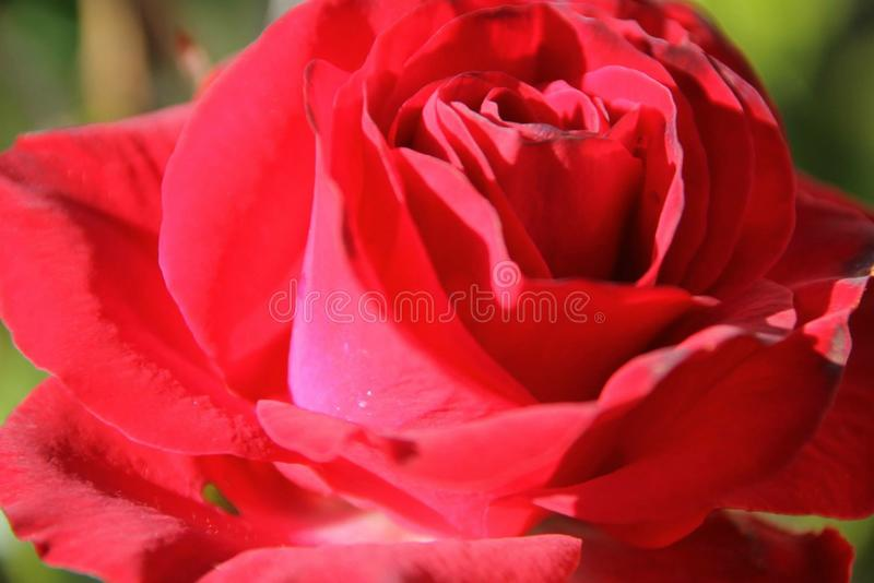 Rotes roase stockfoto
