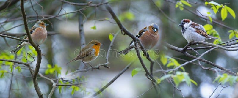 Rotes Robin Erithacus-rubecula und Chaffinch-Fringilla coelebs und Haussperling Passant domesticus Vögel lizenzfreie stockbilder