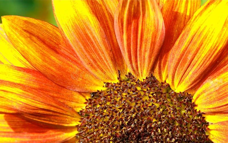 Rotes Sonnenblume-Makro stockfotos