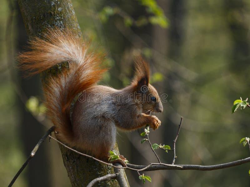 Rotes squirell auf dem Baumast, der Nuss isst stockfoto