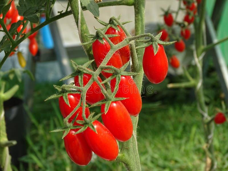 Rotes Tomatenbündel mit dem Stamm wachsen lizenzfreie stockfotografie