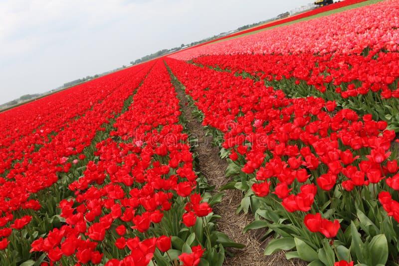 Rotes Tulpenfeld stockfotografie