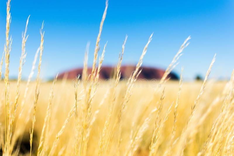 Rotes Uluru in der Goldnatur stockbilder
