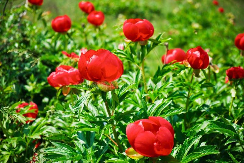 Rotes wildes Pfingstrosenblumen Paeonia peregrina, ein krautartiges Feld der mehrjährigen Pflanze nahe Enisala, Rumänien, auf ein lizenzfreie stockbilder