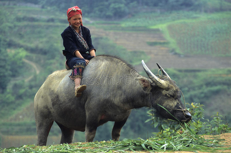 Rotes Zao Kind auf Büffel. stockbild