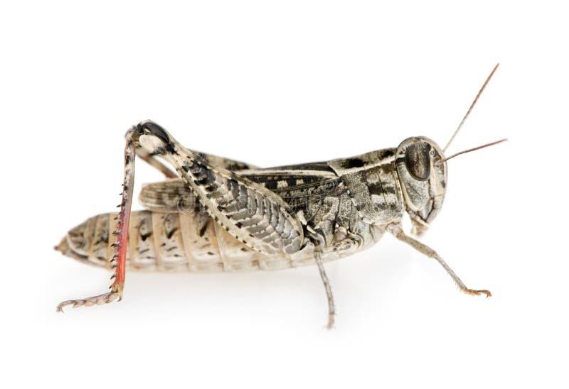 Rotfüßige Heuschrecke stockfoto