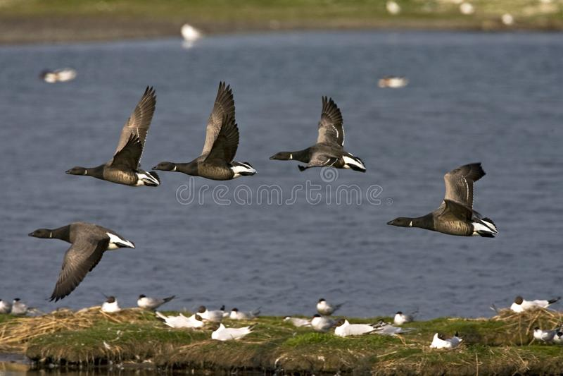 Rotgans, Dunkel-aufgeblähter Brent Goose, Branta bernicla lizenzfreie stockfotos