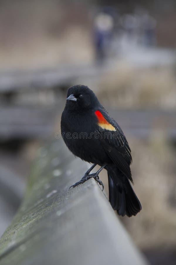 rotgeflügeltes balckbird lizenzfreie stockfotos