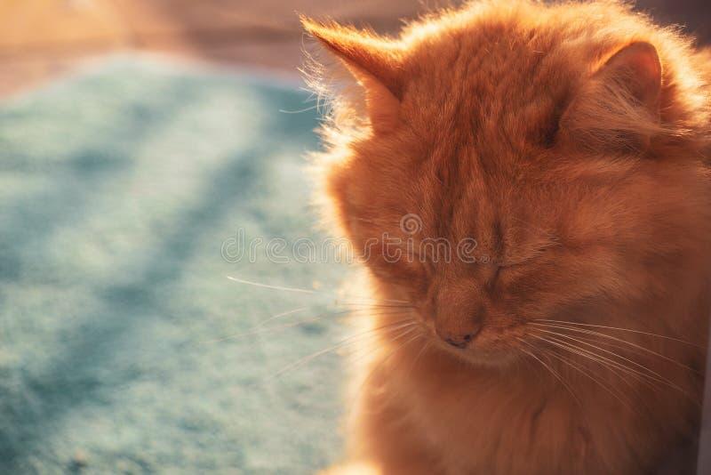 rothaarige schöne flaumige Katzensonnenuntergangfeiertage stockfotos