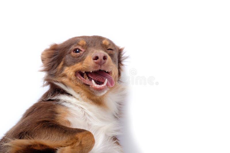 Rothaariger Hund blinzelt mit einem Auge und zeigt Zunge stockbild