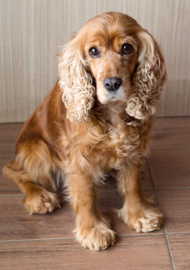 Rothaariger Hund cocker spaniel mit den traurigen und schönen Augen stockbilder