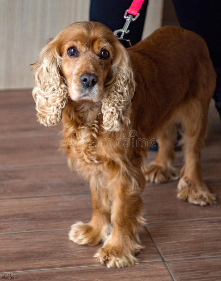 Rothaariger Hund cocker spaniel mit den traurigen und sch?nen Augen lizenzfreies stockfoto