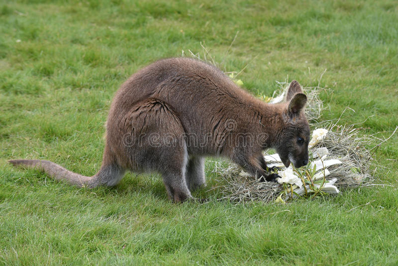Rothalsiger Wallaby stockfotografie