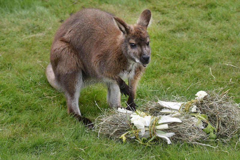 Rothalsiger Wallaby stockfoto