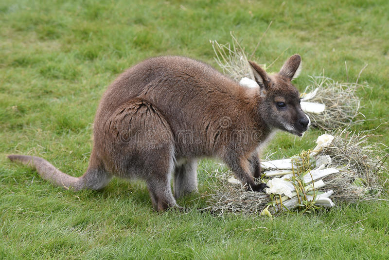 Rothalsiger Wallaby stockbild
