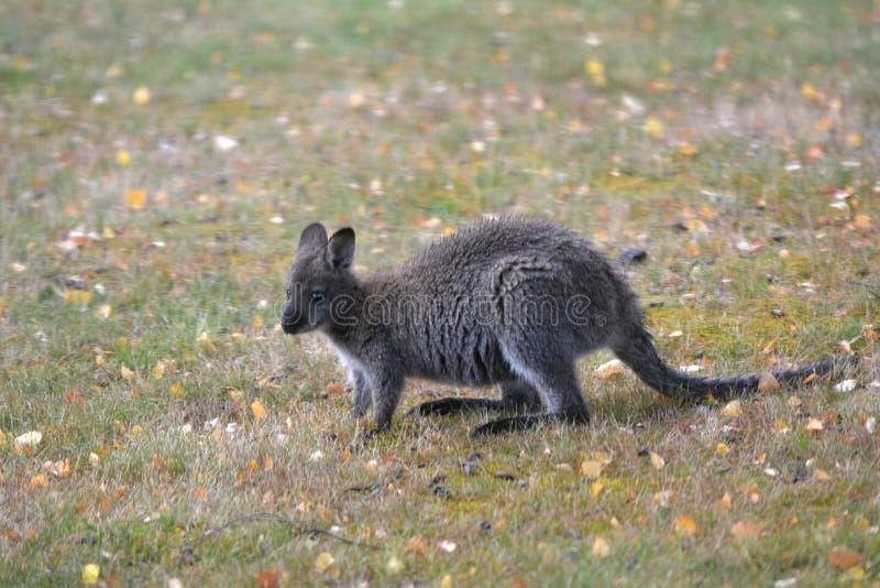 Rothalsiges Wallaby Tasmanien Australien draußen stockfoto