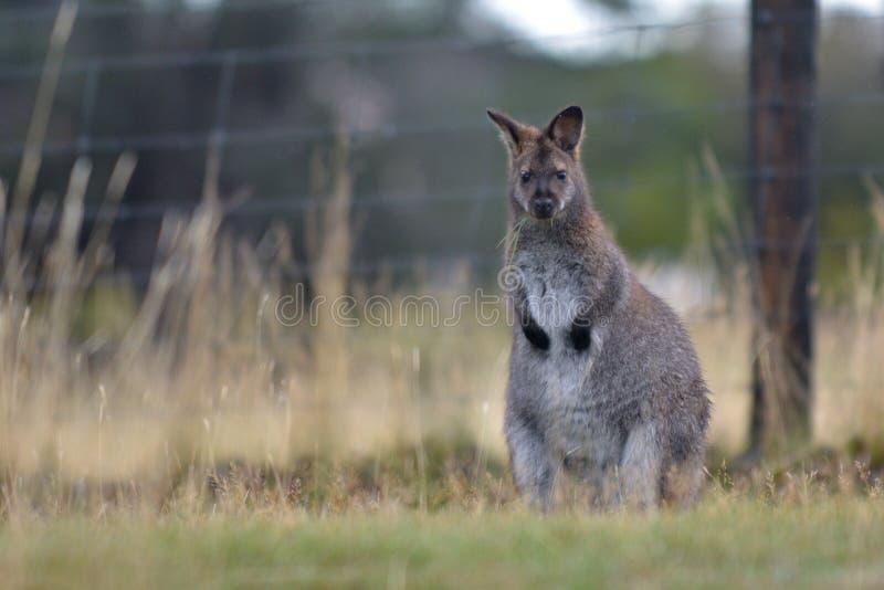 Rothalsiges Wallaby Tasmanien Australien draußen lizenzfreie stockfotografie