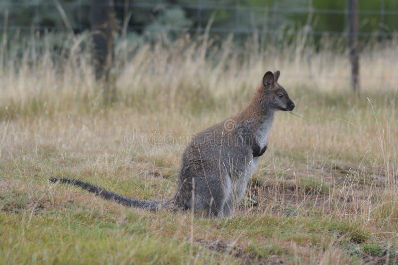 Rothalsiges Wallaby Tasmanien Australien draußen lizenzfreies stockbild