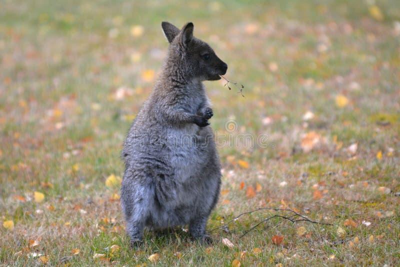 Rothalsiges Wallaby Tasmanien Australien draußen stockbild