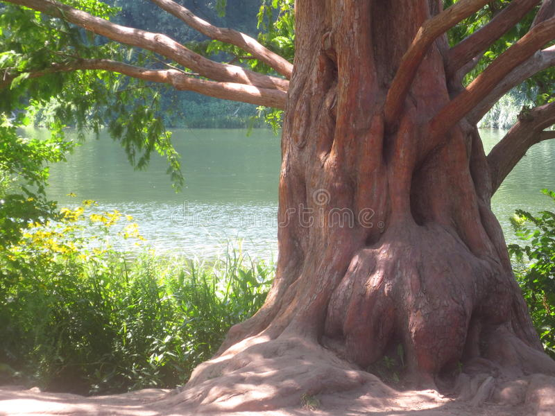 Rotholz-Baum lizenzfreies stockbild