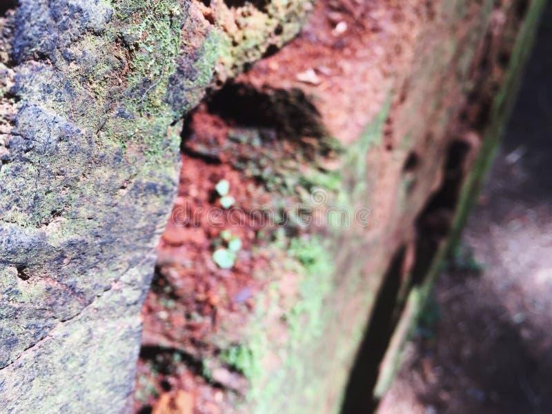Rotholz-Baum-Details stockfoto