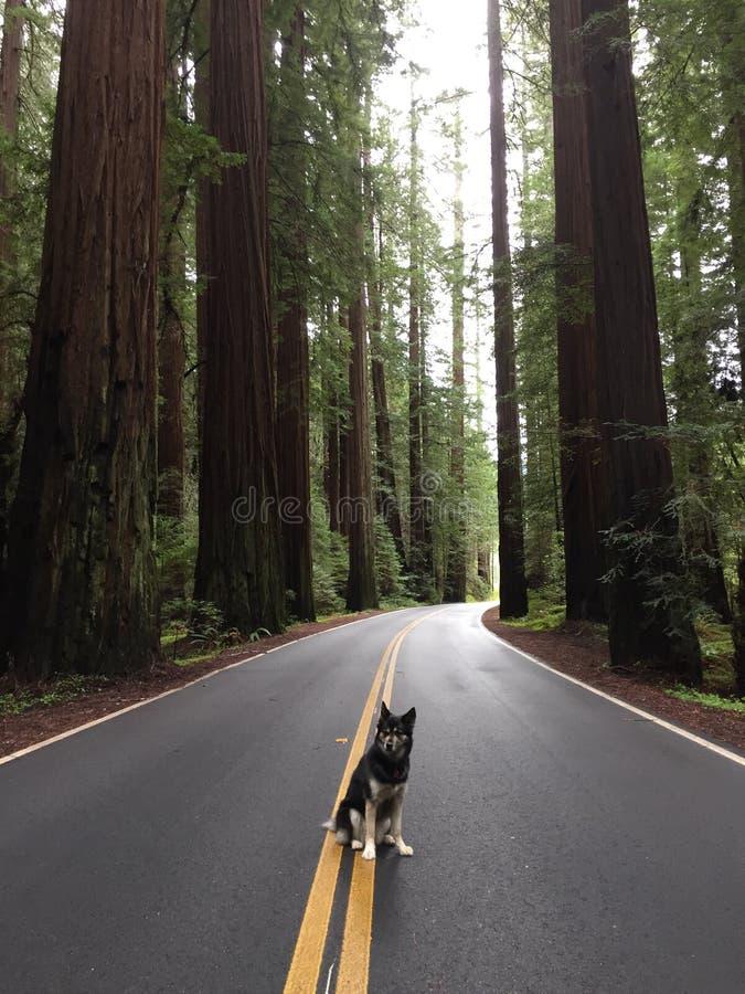 Rotholzbäume lizenzfreies stockbild