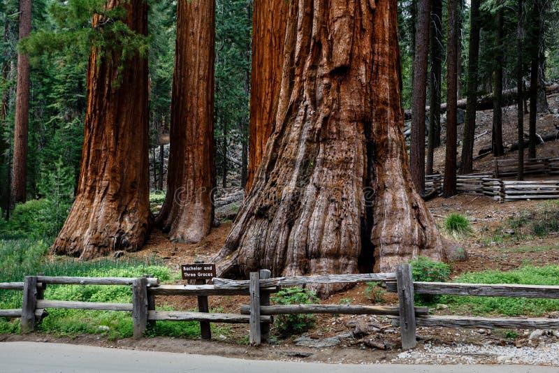 Rotholzbäume des riesigen Mammutbaums nähern sich Straße in Yosemite Nationalpark stockbild
