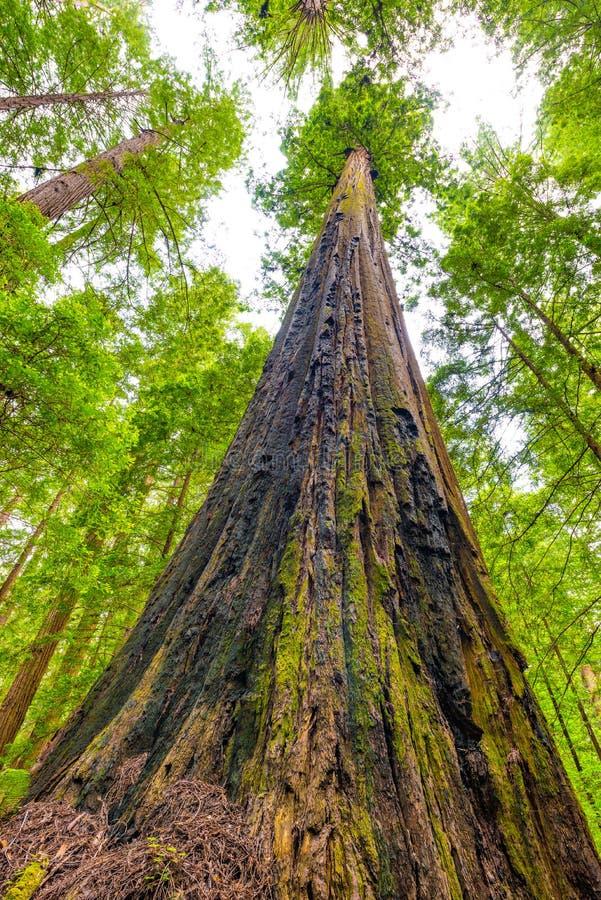 Rotholzbaum im Rotholz-Nationalpark, Kalifornien lizenzfreie stockfotografie