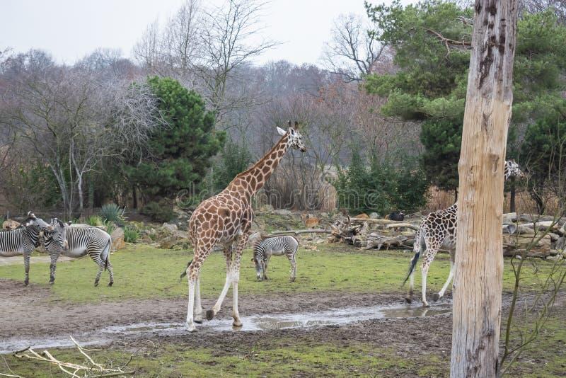 Rothschild&en x27; s-giraff arkivfoto