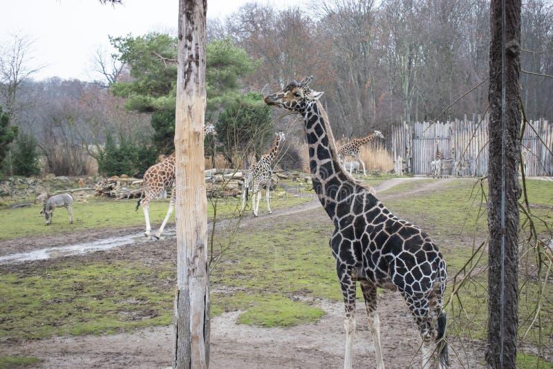 Rothschild&en x27; s-giraff royaltyfri bild