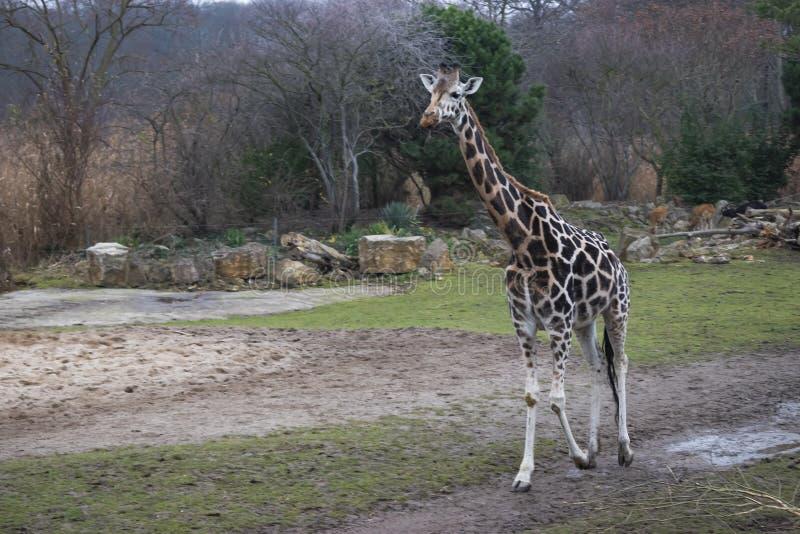 Rothschild&en x27; s-giraff arkivbilder
