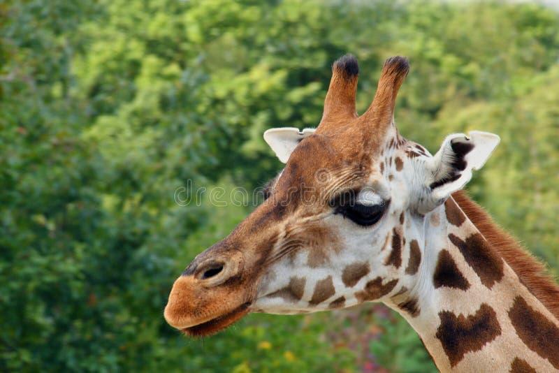 Rothschild giraff arkivfoto
