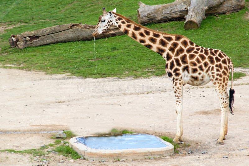 Rothschild giraff arkivbild