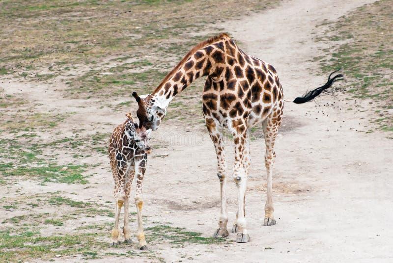 Rothschild giraff (Giraffacamelopardalisrothschildien) arkivbilder