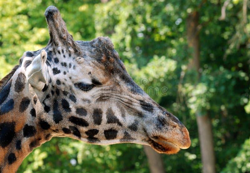 Rothschild giraff, huvud arkivfoton