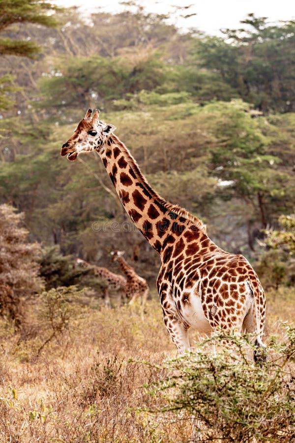 Rothschild giraff i sjön Nakuru royaltyfri fotografi